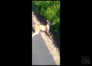 Suspeita é que animal tenha sido atropelado; corpo foi encaminhado para Unesp de Jaboticabal