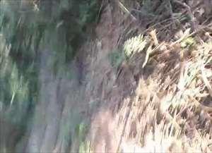 Animal foi acuado por cachorros, capturado pela Polícia Ambiental e solto em mata protegida