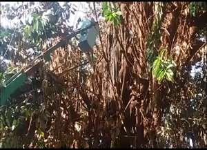 Seringueira de aproximadamente 25 metros de altura caiu sobre três casas e um carro
