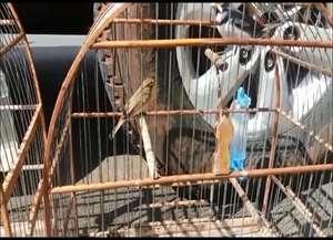 Dos oito pássaros encontrados no local, cinco estava com anilhas adulteradas, violadas e falsificadas