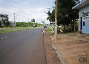 Fotógrafo do ACidade ON flagra rebanho solto pelo bairro Vila Elisa com risco iminente de um grave acidente de trânsito