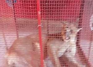 Animal foi resgatado na Washington Luís (SP-310), em Fernando Prestes, com ferimentos nas patas traseiras e coluna