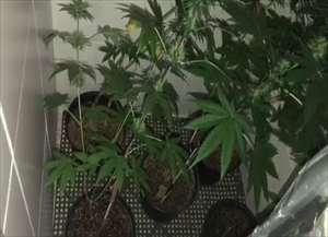 Polícia Civil explica que laboratório foi montado em apartamento para cultivar e preparar drogas para venda
