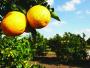 Greening cresce pelo segundo ano e atinge 19 % das produções de laranja