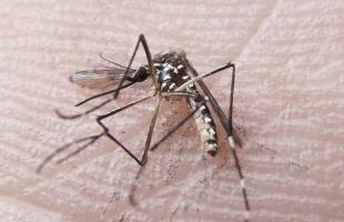 Aedes Aegypti - Foto: Rafael Neddermeyer/Fotos Públicas