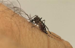 Divulgação/Fiocruz - Aedes Aegypti