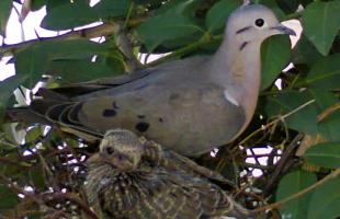 Prefeitura estuda como combater infestação de pombos em áreas urbanas - ACidade ON