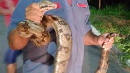 Bombeiros resgatam três cobras em cinco dias em Pedreira