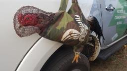 Polícia detém 10 suspeitos em rinha de galos em Jaguariúna