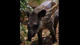 Parque Ecológico realiza concurso para escolher nome de filhote de anta