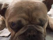 Cirurgia pode devolver visão a cão cego, que precisa de ajuda