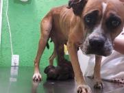 Negligência deixa tumor gigante em cão, que precisa de ajuda