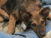 Cachorra com pata quebrada há uma semana precisa de ajuda