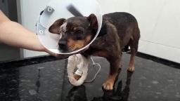 Região: cadela fica cega e perde filhotes depois de levar tiro