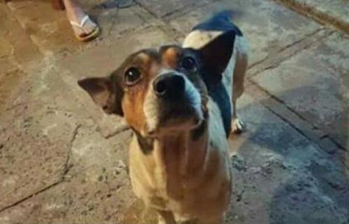 ACidade ON - Araraquara - Cãozinho sumiu no último dia 16 na região do Jardim Martinez