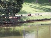 Moradores tentam impedir abate de capivaras em condomínio