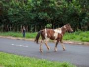 Cavalos oferecem risco para motoristas que passam pela Henry Nestlé