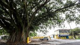 Trecho da Bento de Abreu será interditado para poda de árvore