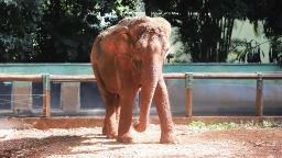 Elefantas do bosque de Ribeirão vão viver juntas em recinto