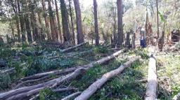 Fiscalização flagra corte ilegal de eucaliptos no Itamarati