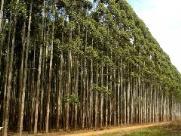 Empresa tem 146 árvores de eucalipto furtadas em São Carlos