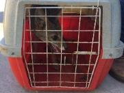 Raposa é resgatada na Avenida Bento de Abreu