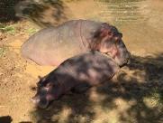 Hipopótamo Paulão morre no Zoológico de Paulínia