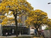 Florada de Ipês dá boas-vindas à Primavera em Campinas
