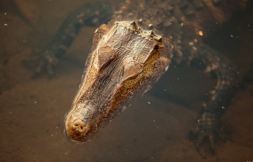 Rafael Fernandes / Divulgação - Jacaré-de-papo-amarelo foi encontrado em lagoa da USP de Ribeirão Preto