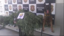 Homem é preso com pé de maconha de 2 metros em Ribeirão