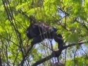 Macaco 'morador do Marivan' leva choque ao andar entre fios elétricos