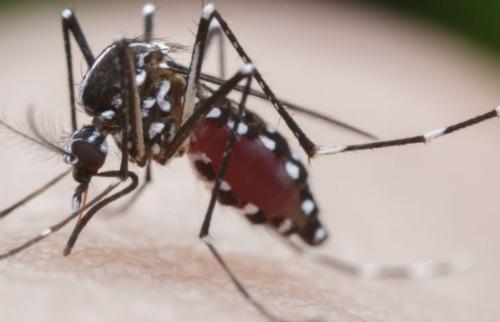 Mosquito Aedes aegypti - Foto: Da reportagem