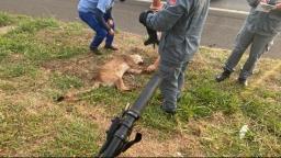 Onça morre após ser atropelada por caminhão na Zeferino Vaz, em Campinas