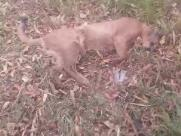 Onça-parda é encontrada morta em rodovia da região