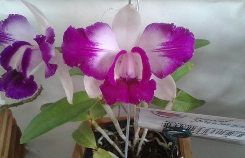 Divulgação - Orquídeas chegam nesta sexta-feira (9) ao Ipanema Clube (Foto: Divulgação)