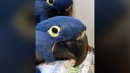 Zoológico de SP conta com dois novos filhotes de arara-azul-grande