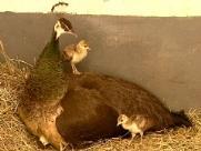 Filhotes de pavão nascem em cima de ponto de ônibus