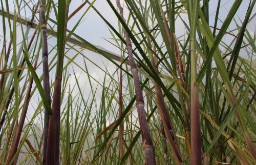 Pesquisa pode aumentar a produção de etanol de 2ª geração em mais de 20% (Foto: Renan Lopes/ACidade ON Campinas)