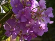 Quaresmeiras floridas encantam moradores de São Carlos