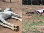 Quatro animais são encontrados mortos em propriedade onde égua e vaca agonizavam