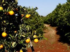 Safra de laranja deve chegar a 385,20 milhões de caixas - Foto: Da reportagem
