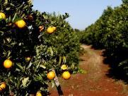 Região de Araraquara terá aumento de 47% na próxima safra da laranja