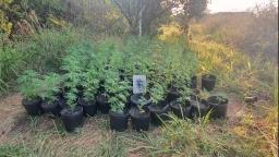 Canil da Guarda Municipal encontra trilha com plantação de maconha