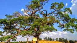 Paineira que pode ter 300 anos vira estrela em Serra Negra