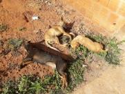 Direto do Zap: Vários cachorros são envenenados no Hortênsias