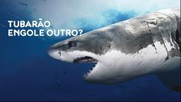 Tubarão branco colossal e canibal