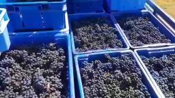 Vinícola de Ribeirão Preto tem segunda colheita de uvas