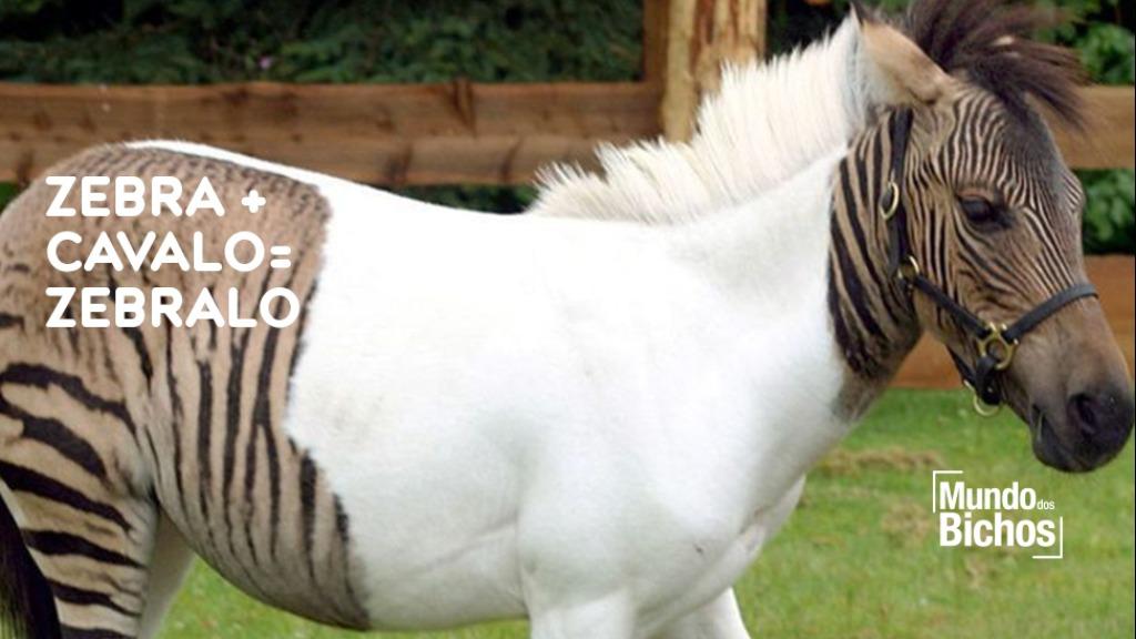 Zebra - Foto: Marcelo Quén